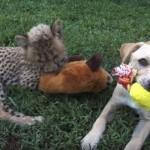 【動画】チーターのカンバリと犬のカーゴは大親友