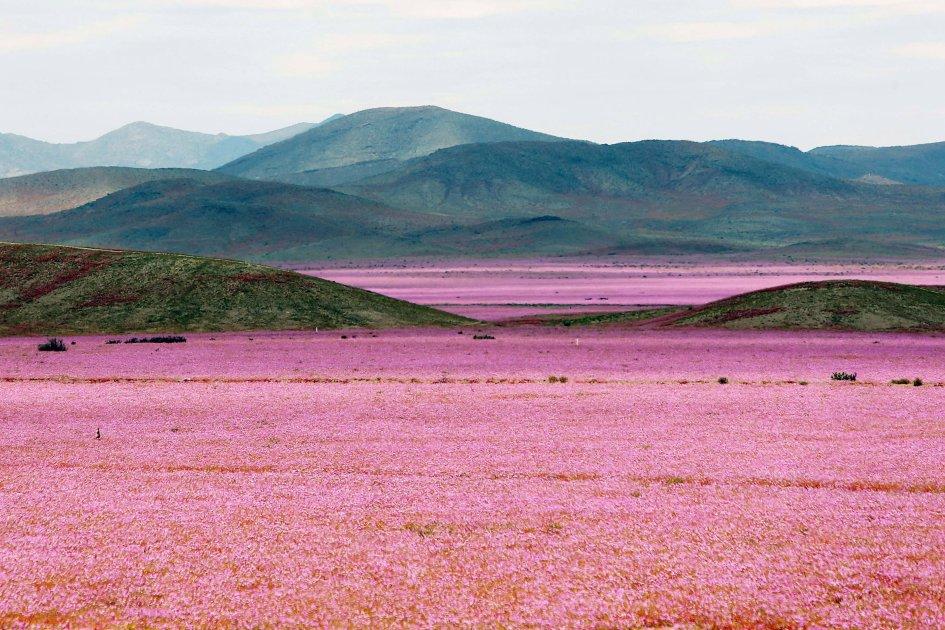 アタカマ砂漠 花