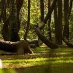 【画像】ねじれた木々が生い茂るポーランドの不思議な森