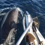【動画】海の哺乳類たちが総出で釣り船を大歓迎