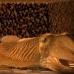 【海のカメレオン】コウイカのカモフラージュ力がすごい
