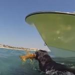 【動画】素潜りでロブスターを捕まえるダイバー犬がいた!