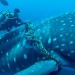 ダイバーが漁網のロープに絡まったジンベイザメを救出