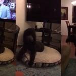 【パブロフの犬】テレビが消える音で必ず寝室に戻るプードル