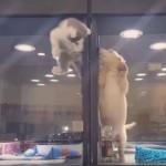【動画】ペットショップの囲いをよじ登って友達に会いに行く子猫が微笑ましすぎる