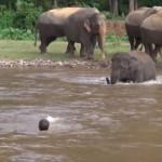溺れているっぽい里親の人間を川から救出する子ゾウ