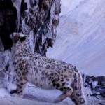 【レア映像】ヒマラヤに暮らす野生の「ユキヒョウ」
