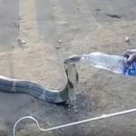 村に迷い込んだキングコブラ、人間からペットボトルの水を貰う
