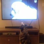 【動画】テレビが好きすぎて大興奮するシェパード犬が話題に