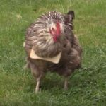 【チキンサンド】食パンに翻弄されまくる賢くないニワトリ