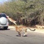 【動画】チーターから逃げ回るインパラ、他人の車に飛び込みセーフ