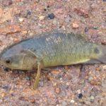 地上でもセミ並みに生きられる魚キノボリウオ